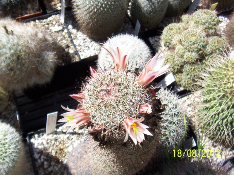 Cacti and Sukkulent in Köln, every day new flowers in the greenhouse Part 28   Bild_797