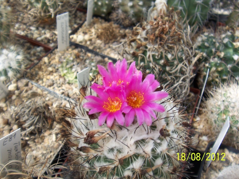 Cacti and Sukkulent in Köln, every day new flowers in the greenhouse Part 28   Bild_810