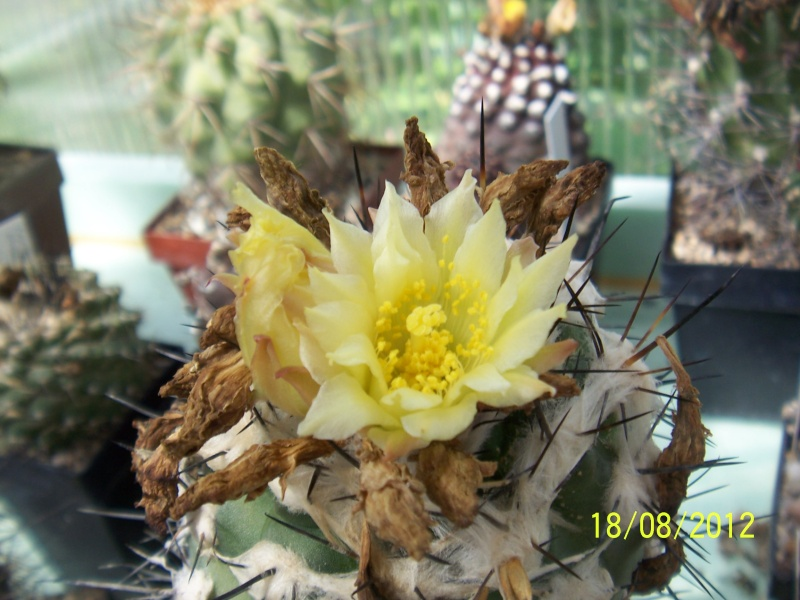 Cacti and Sukkulent in Köln, every day new flowers in the greenhouse Part 28   Bild_812