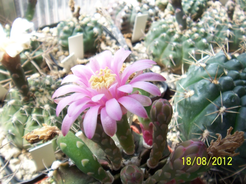 Cacti and Sukkulent in Köln, every day new flowers in the greenhouse Part 28   Bild_821