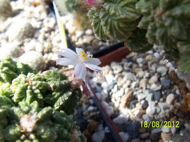 Cacti and Sukkulent in Köln, every day new flowers in the greenhouse Part 28   Bild_822