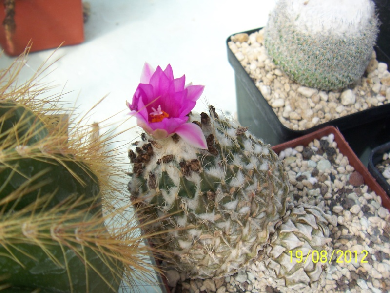 Cacti and Sukkulent in Köln, every day new flowers in the greenhouse Part 29   Bild_827