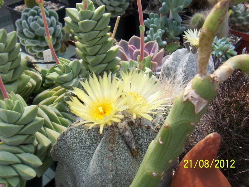 Cacti and Sukkulent in Köln, every day new flowers in the greenhouse Part 29   Bild_847