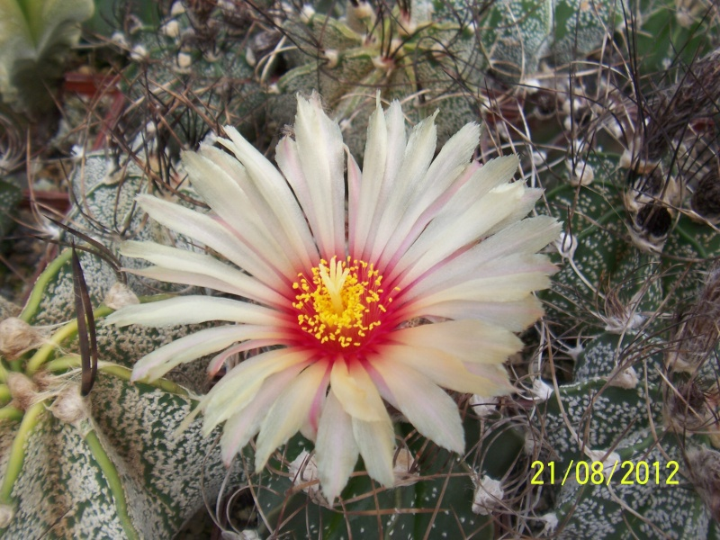 Cacti and Sukkulent in Köln, every day new flowers in the greenhouse Part 29   Bild_862