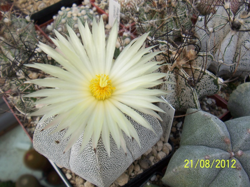 Cacti and Sukkulent in Köln, every day new flowers in the greenhouse Part 29   Bild_867