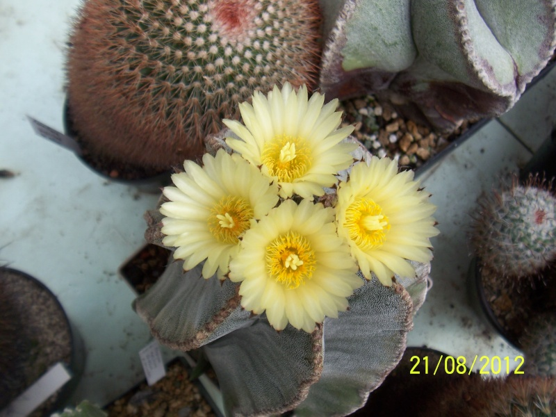 Cacti and Sukkulent in Köln, every day new flowers in the greenhouse Part 29   Bild_875