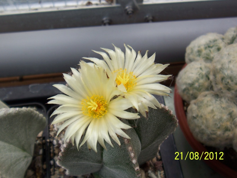 Cacti and Sukkulent in Köln, every day new flowers in the greenhouse Part 29   Bild_876