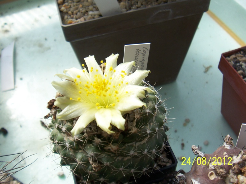 Cacti and Sukkulent in Köln, every day new flowers in the greenhouse Part 30   Bild_922