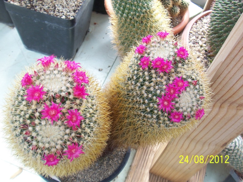 Cacti and Sukkulent in Köln, every day new flowers in the greenhouse Part 30   Bild_926