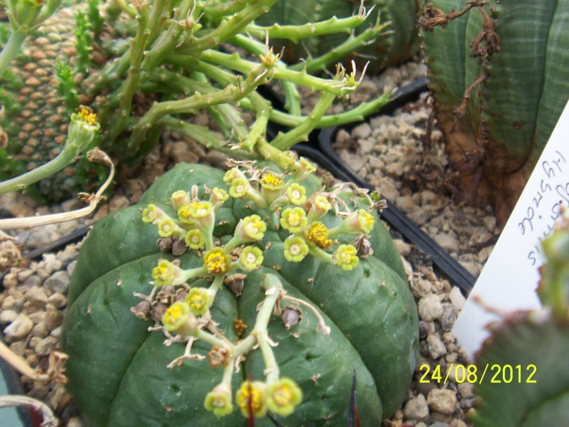 Cacti and Sukkulent in Köln, every day new flowers in the greenhouse Part 30   Bild_934