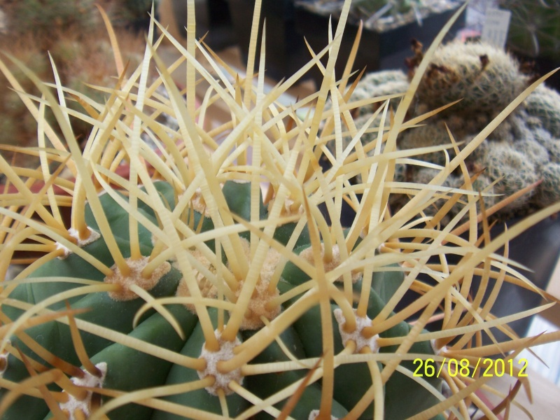Cacti and Sukkulent in Köln, every day new flowers in the greenhouse Part 30   Bild_943