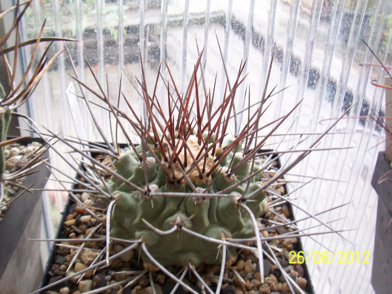 Cacti and Sukkulent in Köln, every day new flowers in the greenhouse Part 30   Bild_947