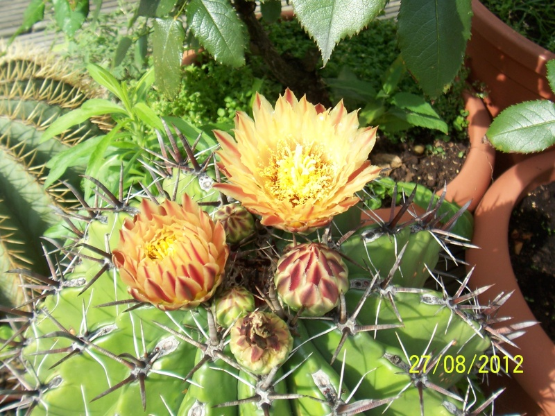 Cacti and Sukkulent in Köln, every day new flowers in the greenhouse Part 30   Bild_957