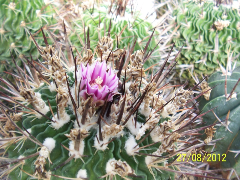 Cacti and Sukkulent in Köln, every day new flowers in the greenhouse Part 30   Bild_971