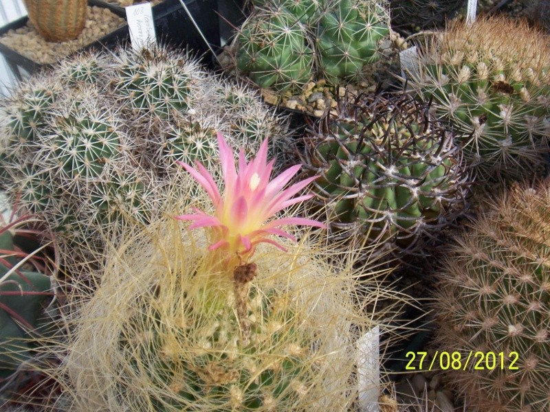 Cacti and Sukkulent in Köln, every day new flowers in the greenhouse Part 30   Bild_972