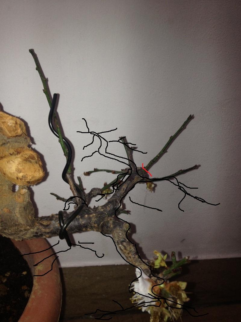 Prunus mume Img_1416