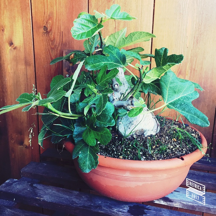 Yamadori di Ficus carica, new entry in collezione... Img_2812