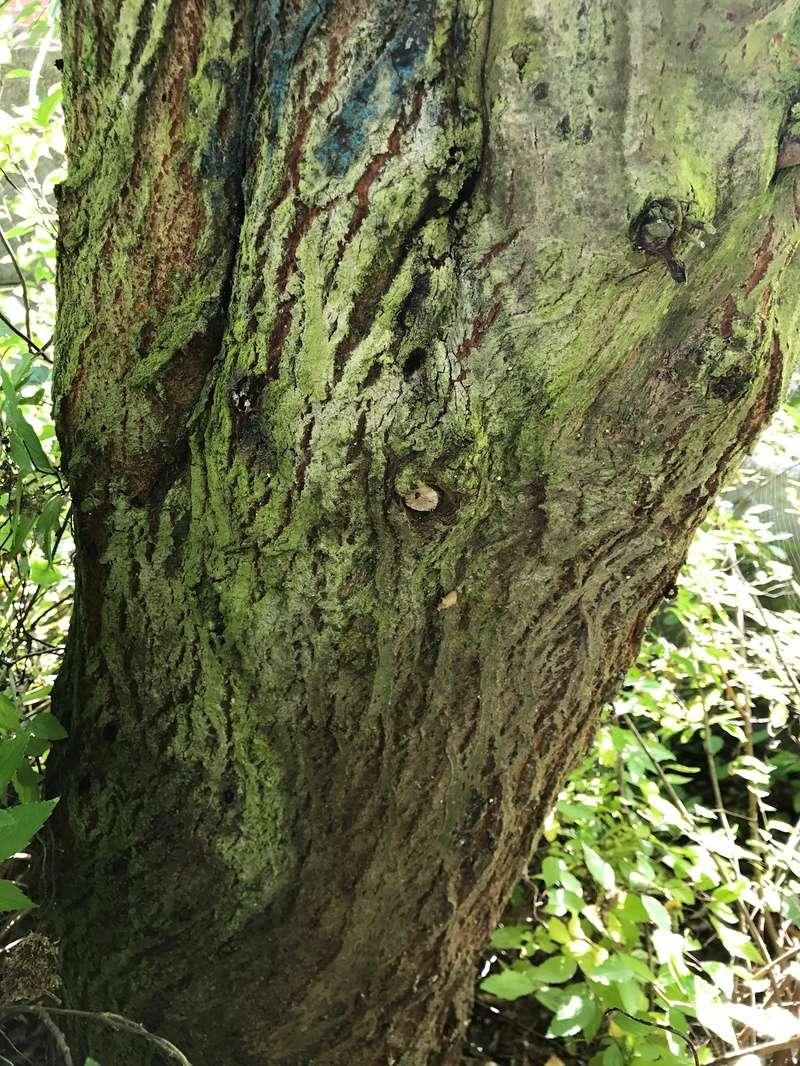 [Identification arbre sur pied] Il est gênant pour les voisins... Img_0010