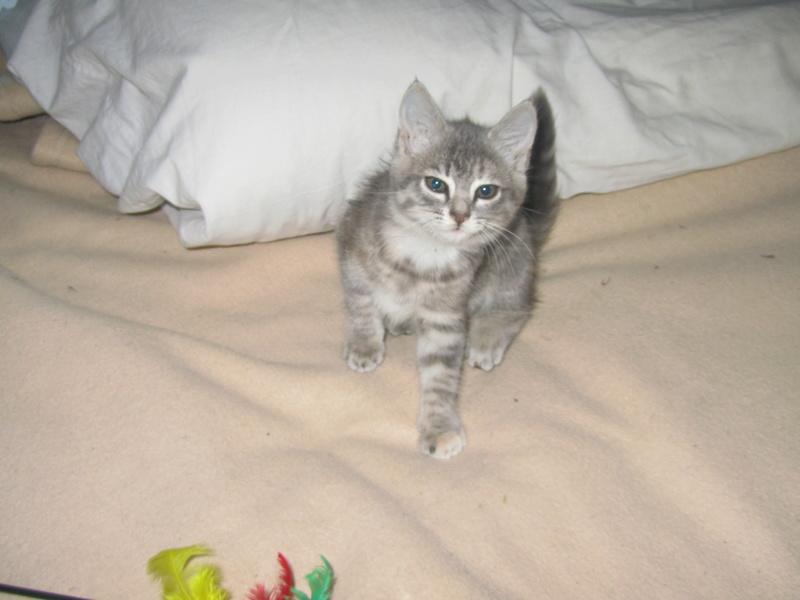 Nikita, femelle européenne tigrée gris , née le 13 juillet 2017 Img_4610
