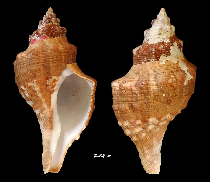 Aurantilaria aurantiaca - (Lamarck, 1816)  Aurant10