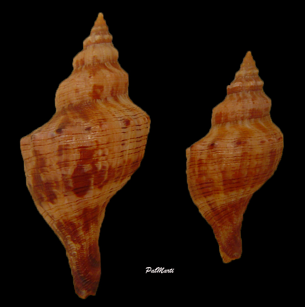 Aurantilaria aurantiaca - (Lamarck, 1816)  Aurant11