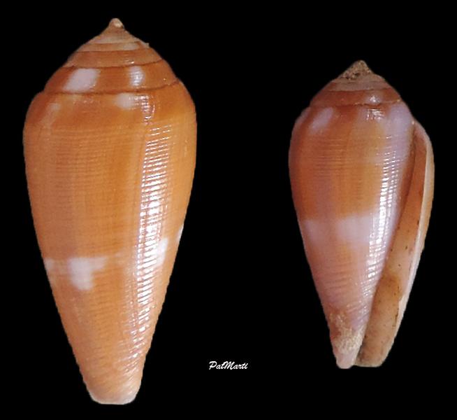 Conus (Leporiconus) tenuistriatus  GB Sowerby II, 1858 - Page 3 Conus-16