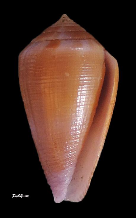 Conus (Leporiconus) tenuistriatus  GB Sowerby II, 1858 - Page 3 Conus-17