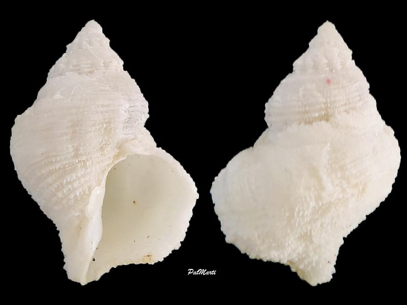 Coralliophila erosa - (Roding, 1798) Corall10