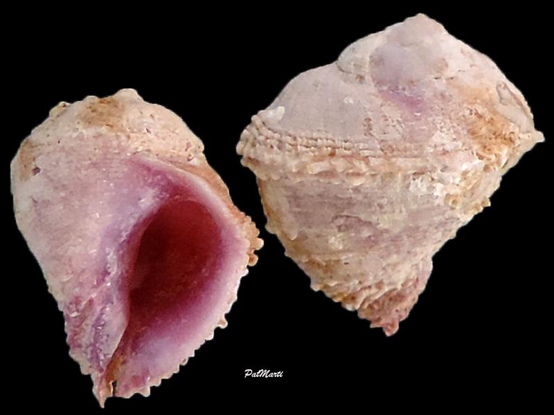Coralliophila squamulosa - (Reeve, 1846) Corall11