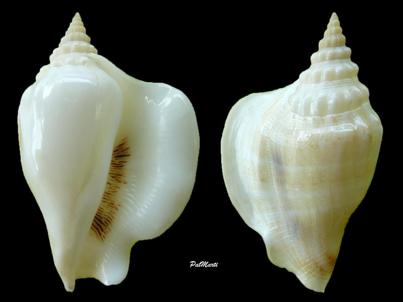 Dolomena hickeyi - (Willan, 2000) Dolome11