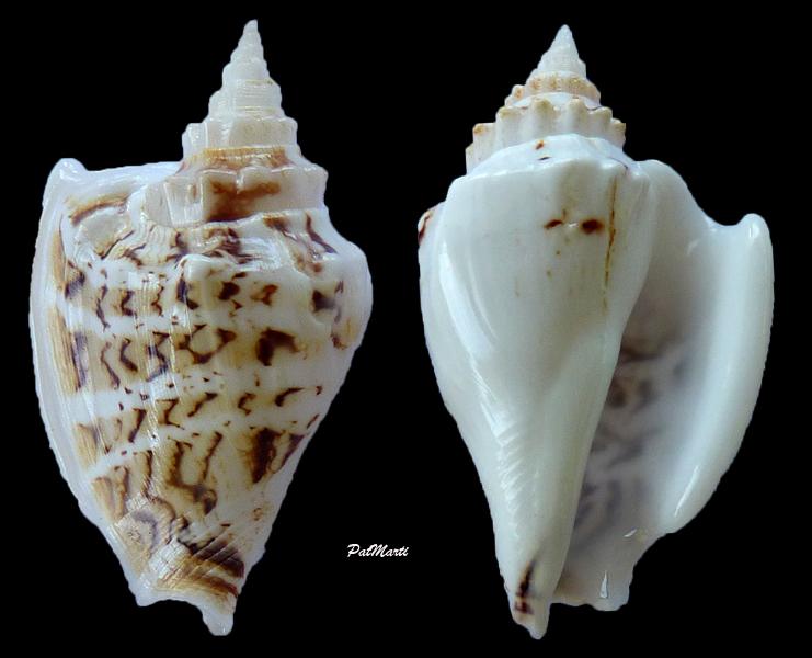 Dolomena variabilis - (Swainson, 1820) Dolome12