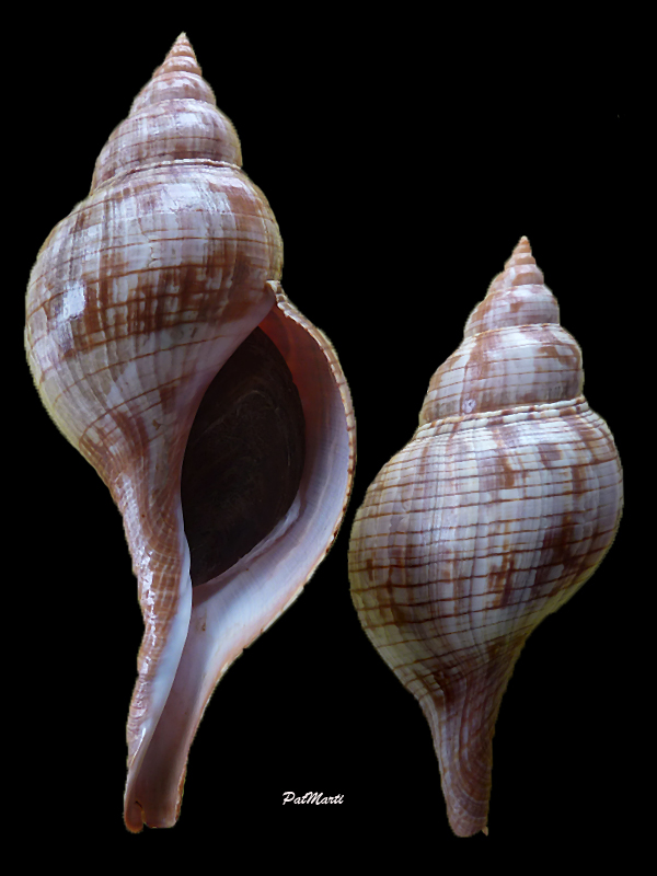 Fasciolaria guyanensis - Lyons & Snyder, 2016 Fascio10