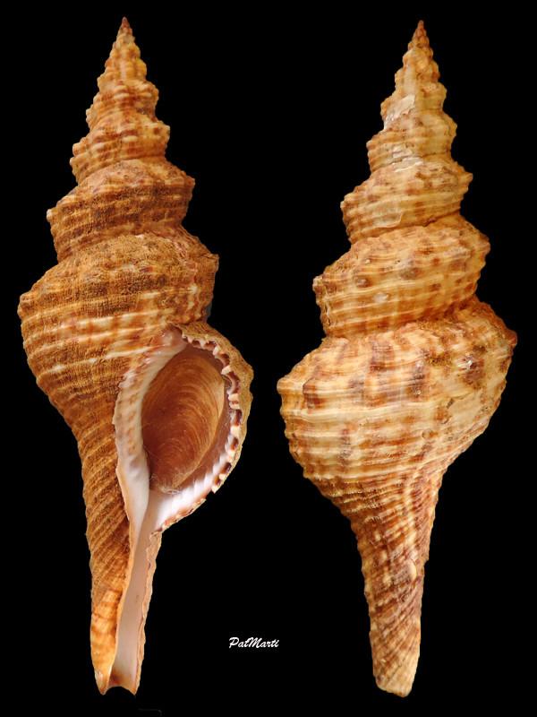 Fusinus verrucosus - (Gmelin, 1791) Fusinu10