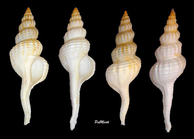 Fusinus frenguellii - (Carcelles, 1953) Fusinu14