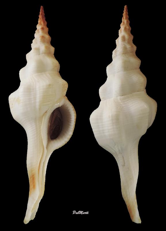 Fusinus undatus - (Gmelin, 1791) Fusinu16