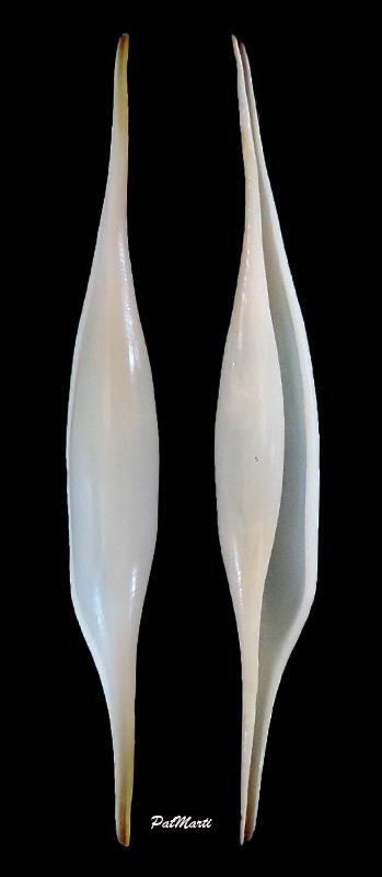Kurodavolva wakayamaensis - (C. N. Cate & Azuma, 1973) Kuroda10