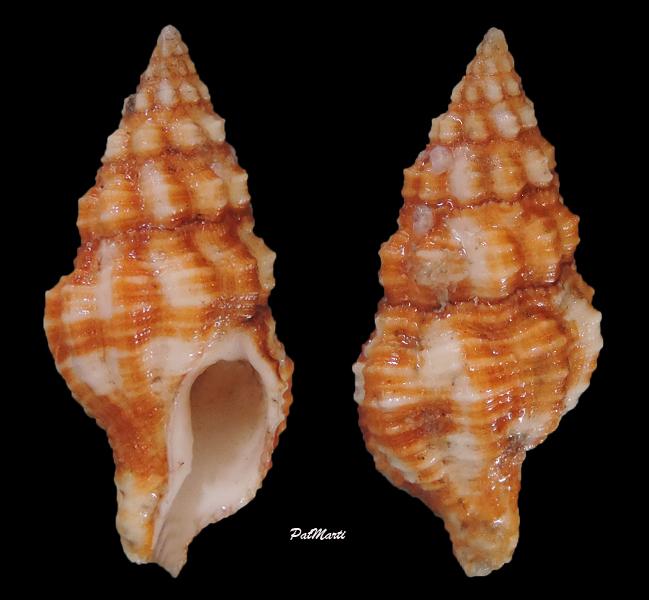 Latirus maculatus - (Reeve, 1847) Latiru10