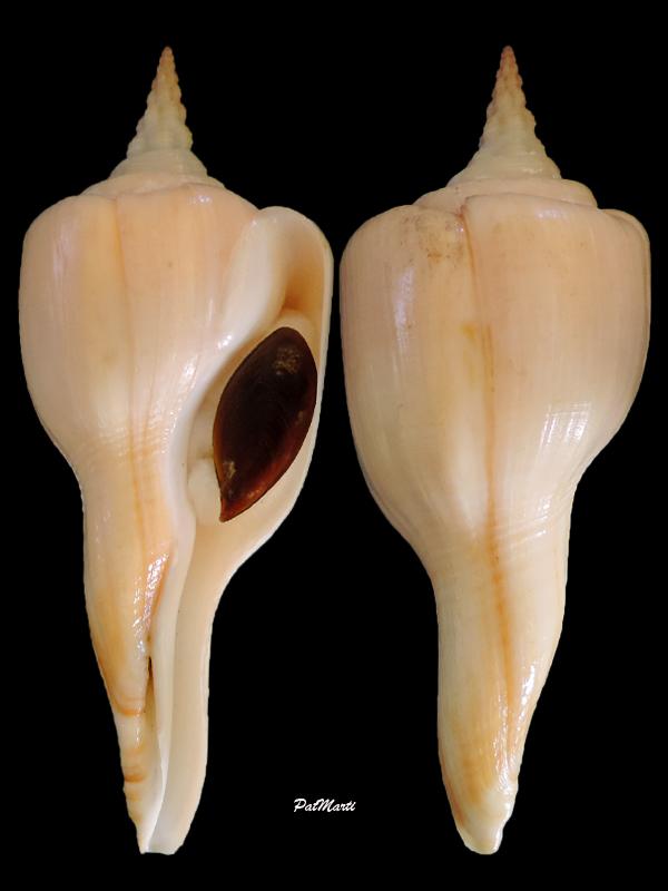 Fusinus serotinus - (Hinds, 1843) Latiru11
