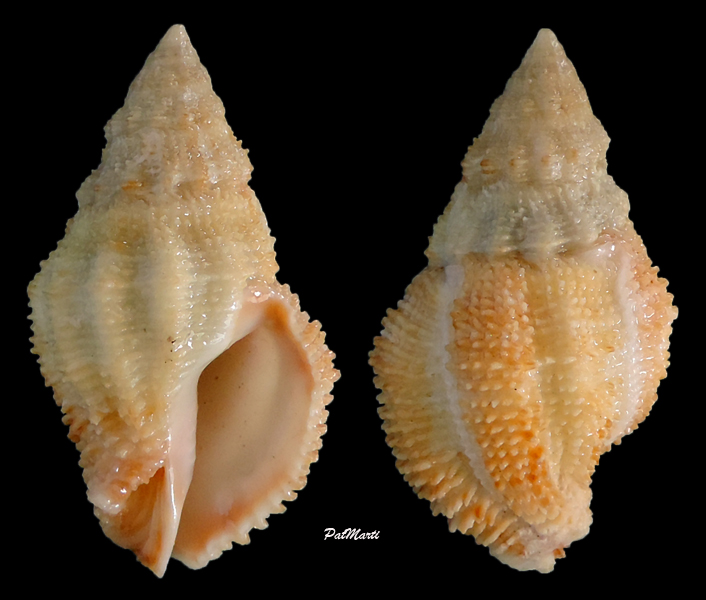 Ergalatax crassulnata - (Hedley, 1915) Morula12