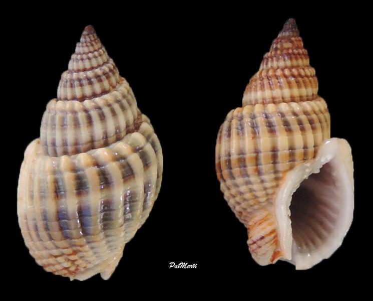 Nassarius livescens - (Philippi, 1849)  Nassar11
