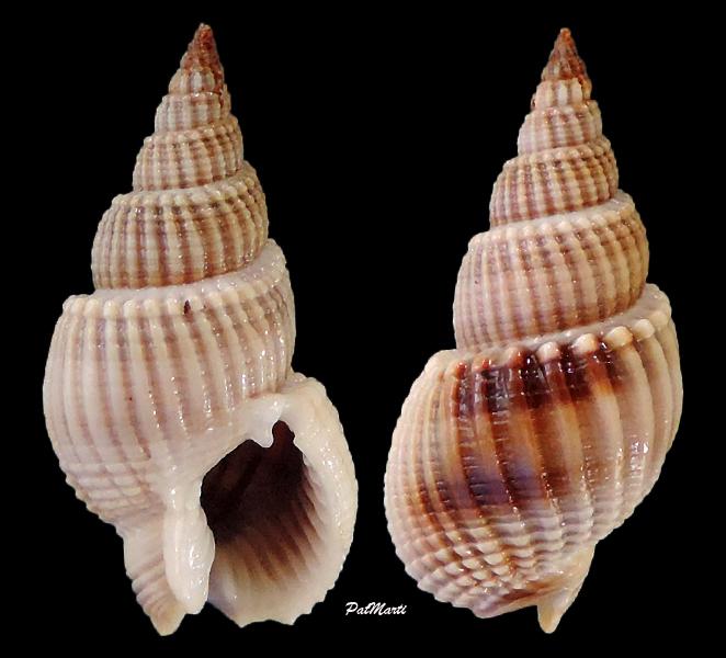 Nassarius siquijorensis - (A. Adams, 1852)  Nassar12