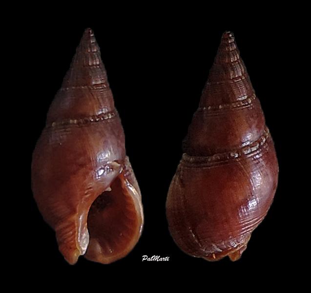 Nassarius reeveanus f. marrati - (E.A.Smith, 1870) Nassar17