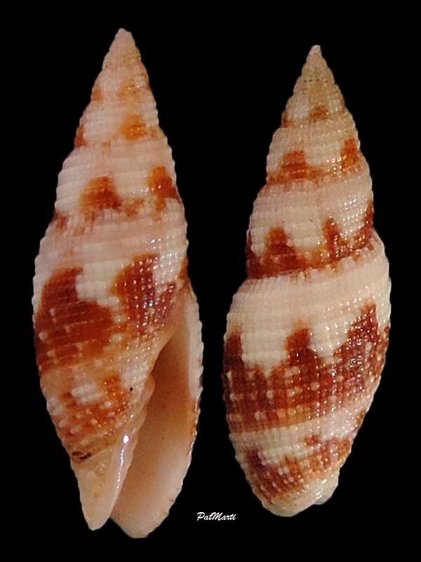 Neocancilla maculosa - (Gmelin, 1791) Neocan11