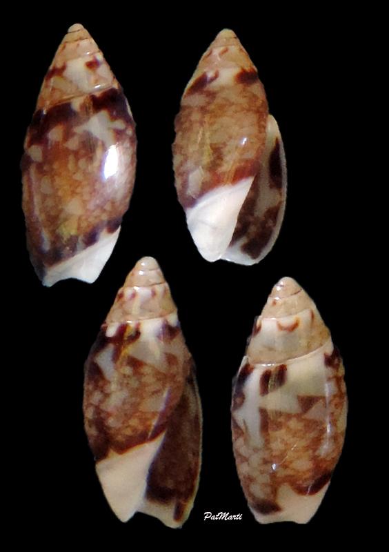 Olivella mandarina (Duclos, 1835) Olivel10