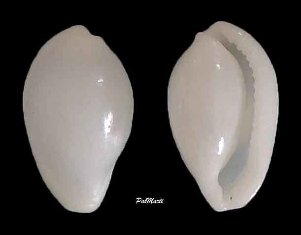 Procalpurnus lacteus - (Lamarck, 1810) Procal10