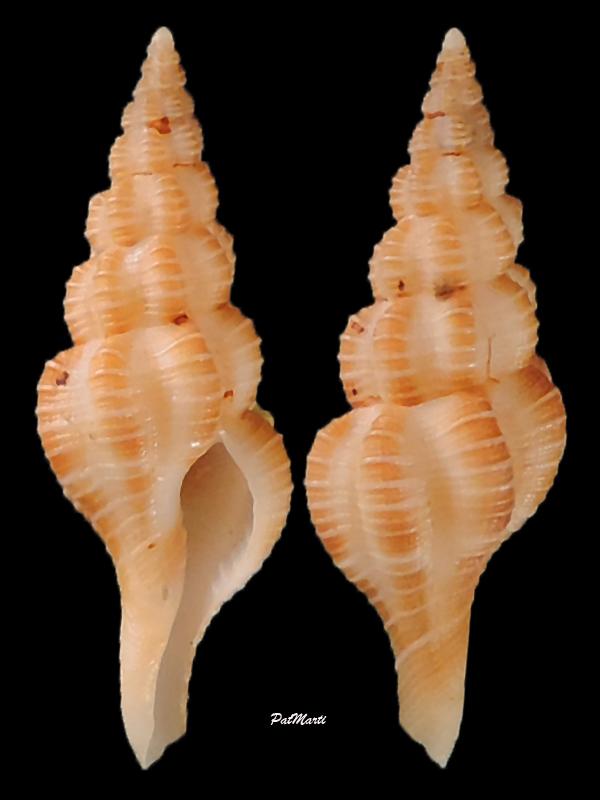 Okutanius kuroseanus - (Okutani, 1975) Pseudo10