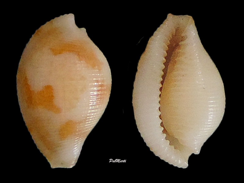 Pseudocypraea adamsonii - (Gray, 1832) Pseudo11