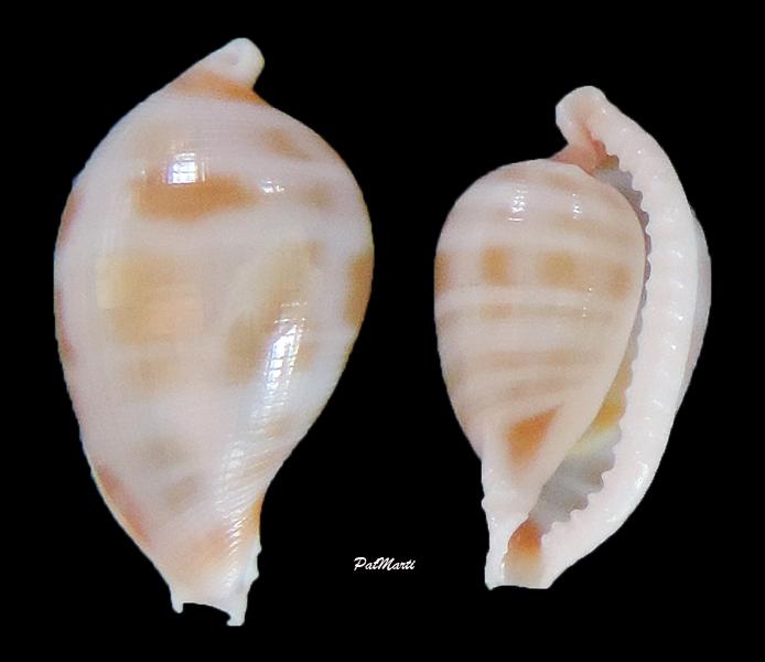 Serratovolva minabeensis - C. N. Cate, 1975  Serrat10