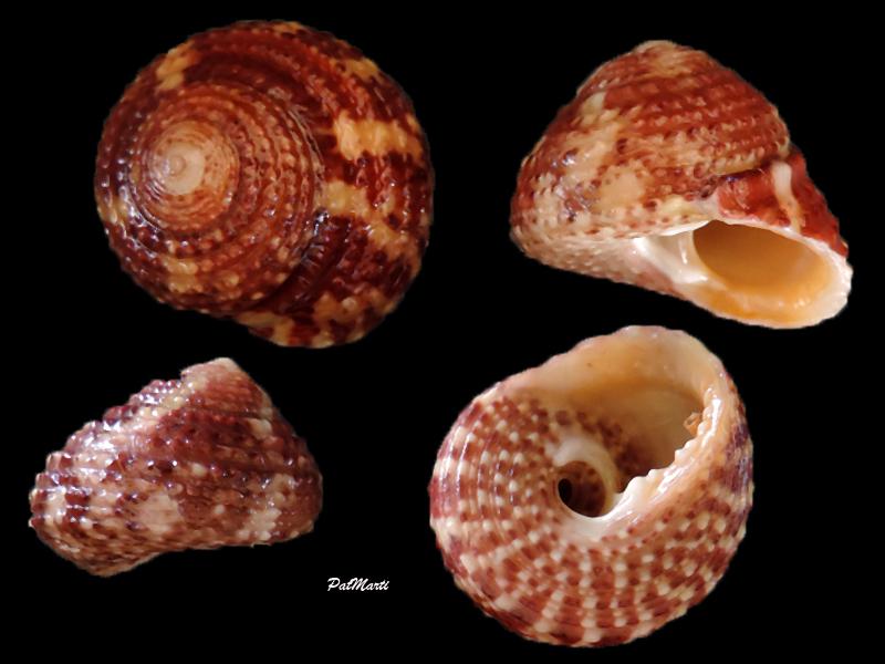 Tegula viridula - (Gmelin, 1791)  Tegula10