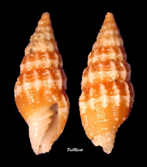 Vexillum leucozonias - (Deshayes, 1834) Vexill12